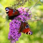 Schmetterlinge Kleiner Fuchs